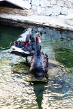 Black Swan with red beak swimming in a pond Royalty Free Stock Image