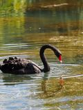 A black swan with a red beak is swimming in a pond. Cygnus atratus. A black swan with a red beak is swimming in a pond with clear water. Cygnus atratus stock photography