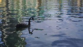 Swan swimming on water. Black swan with red beak swimming on water royalty free stock photography