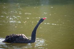 A swan with a red beak swims in the lake. A black swan with a red beak swims in the lake stock photo