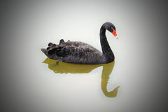 Black swan with reflection in water. Royalty Free Stock Photos