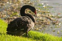 Black swan resting on lake shore Royalty Free Stock Photos