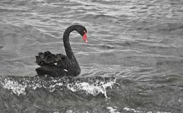 Black swan riding sea surf Stock Photography