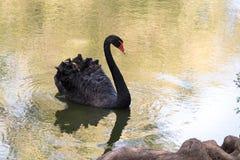 Black Swan Ripples Royalty Free Stock Image