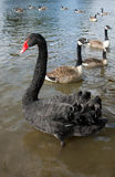 Black swan on the river Royalty Free Stock Photo