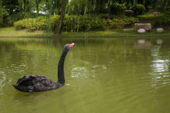 Black swan. A black swan in the river cruising Stock Photos