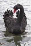 Black swan. At Riverside Park Southampton Royalty Free Stock Photos