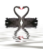 Black Swan Romance Royalty Free Stock Photography