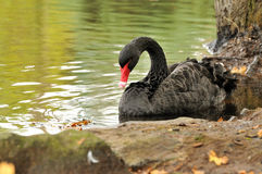 A black swan by the shore Stock Images