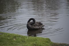 Black swan sleep by hide its head in body`s feather. It alert and open eye when there is sound. Black swan swim float on water or pond Royalty Free Stock Images