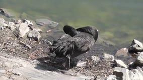 Black swan sleeping near the pond stock video