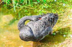 Black swan sleeping Royalty Free Stock Photos