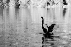 Black Swan spreading wings on Lake Eildon, Australia Stock Photos
