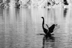 Black Swan spreading wings on Lake Eildon, Australia.  stock photos