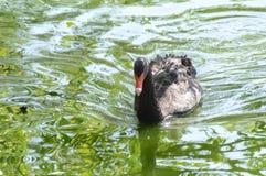 Black swan. Spring. Royalty Free Stock Photos