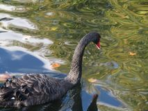 Black swan in St James` Park royalty free stock images