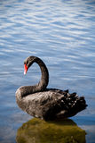Black Swan standing Stock Images