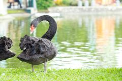 Black swan standing on the grass at the river. Royalty Free Stock Images