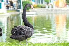 Black swan standing on the grass at the river. Royalty Free Stock Photography