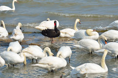 Black swan standing Royalty Free Stock Image