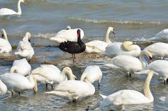 Black swan standing Royalty Free Stock Image