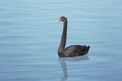 Black swan Stock Image