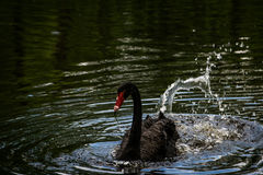 Black Swan at Swan Lake and Iris Gardens. Sumter, SC Royalty Free Stock Photo