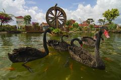 Black swan swim with koi fish in garden with watermill. Royalty Free Stock Photos