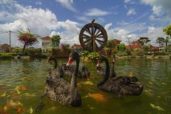 Black swan swim with koi fish in garden with watermill. Stock Images