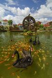 Black swan swim with koi fish in garden with watermill. Stock Photography