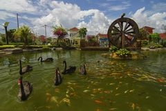 Black swan swim with koi fish in garden with watermill. Royalty Free Stock Photography