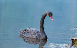 Black swan. Swim in the pool Royalty Free Stock Photos