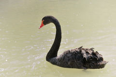 Black swan swimmig, side view Royalty Free Stock Photography