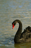 Black Swan Swimming Royalty Free Stock Image