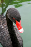 Black swan swimming Stock Images