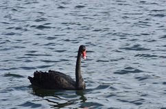 Black swan swimming Royalty Free Stock Images