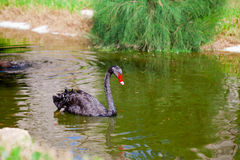 Black swan swimming along a pond Stock Photography