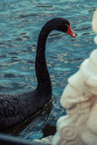 Black Swan. Swimming in the blue waters of a lake Stock Image