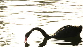 Black swan swimming in a calm lake at sunset stock video