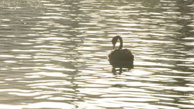 Black swan swimming in a calm lake at sunset stock video footage