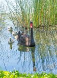 Black Swan With Cygnets. A black swan swimming with cygnets in Lake Monger in Perth, Western Australia royalty free stock images