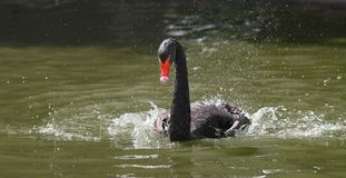 Black Swan Swimming Fast. A black swan kicks hard through the water creating lively splash patterns and droplets all around Royalty Free Stock Image