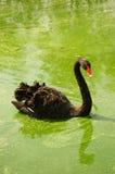 Black swan swimming in green lake Royalty Free Stock Image