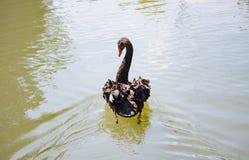 Black swan swimming on the lake Stock Photos