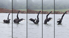 Black Swan swimming at lake of reservoir in Pang Ung Royalty Free Stock Image