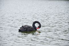 Black Swan swimming at lake of reservoir in Pang Ung Royalty Free Stock Photos
