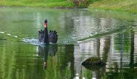 Black swan swimming in a lake in spring Royalty Free Stock Photos