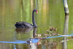 Black swan swimming in a lake in Travis Wetland Nature Heritage Park in New Zealand Royalty Free Stock Photography