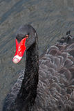 Black Swan Swimming in Melbourne Royalty Free Stock Images