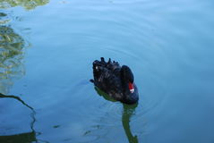 Black swan. Swimming peacefully in a pond near France. its slow movement is drawing smooth waves on water Stock Photo